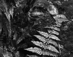 Fern Detail, Old Man's Cave