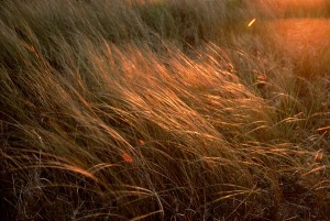 Dune Grass, East Ship Island