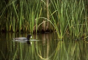 Dabbling Coot, Cattails