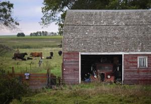 Conspiring Cattle; North Dakota