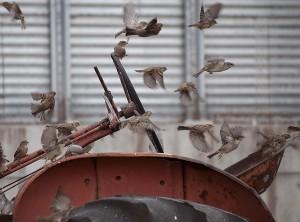 Sparrows Galore