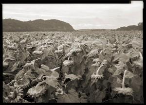 Sunflower Field, Fountain Bluff