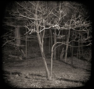 Night Dogwoods