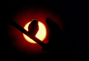 Barn Swallows, Dawn