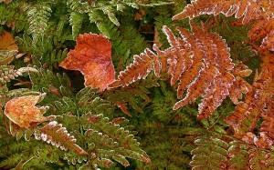 Fall Leaves, Brackens