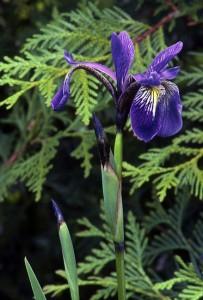 Blue Flag, White Cedar